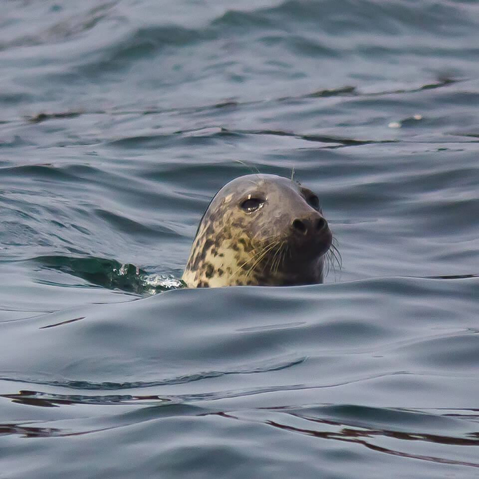 brown-seal